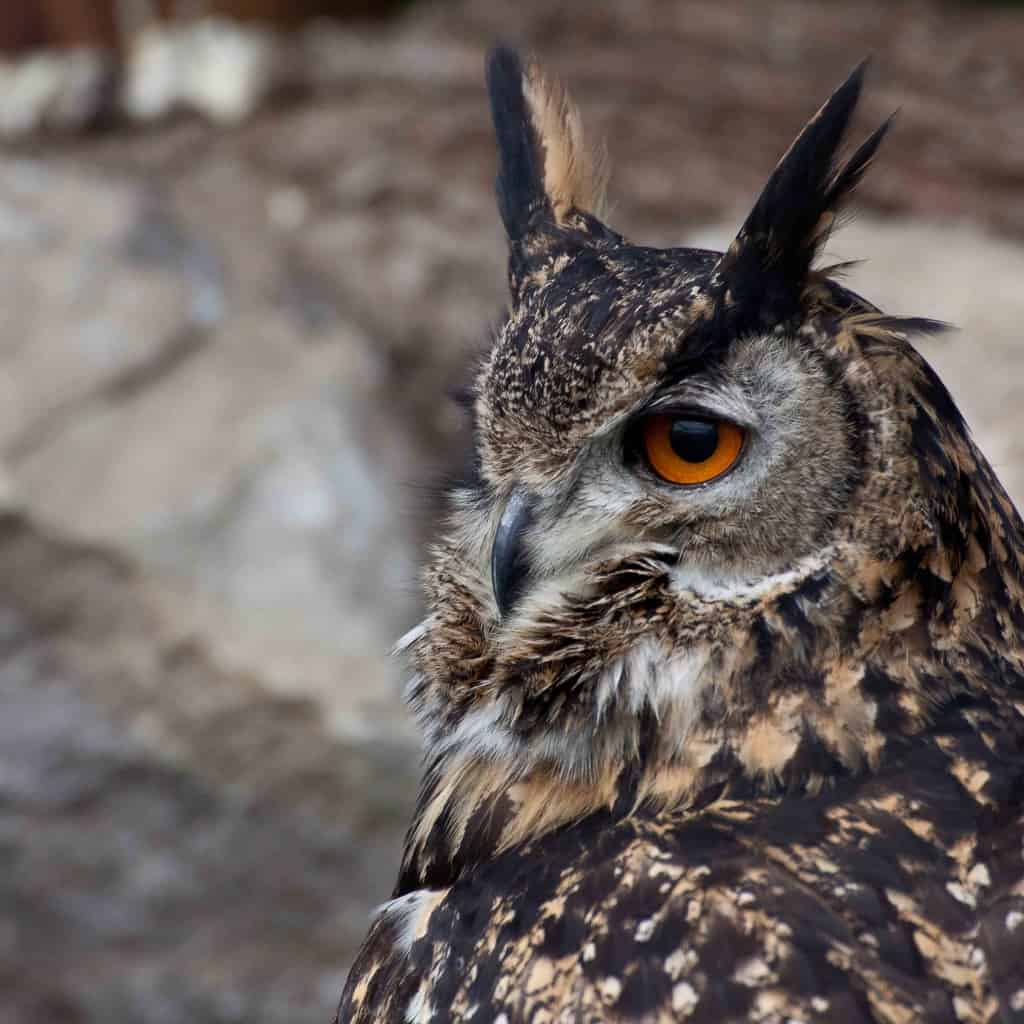 Aled - The Owls Trust