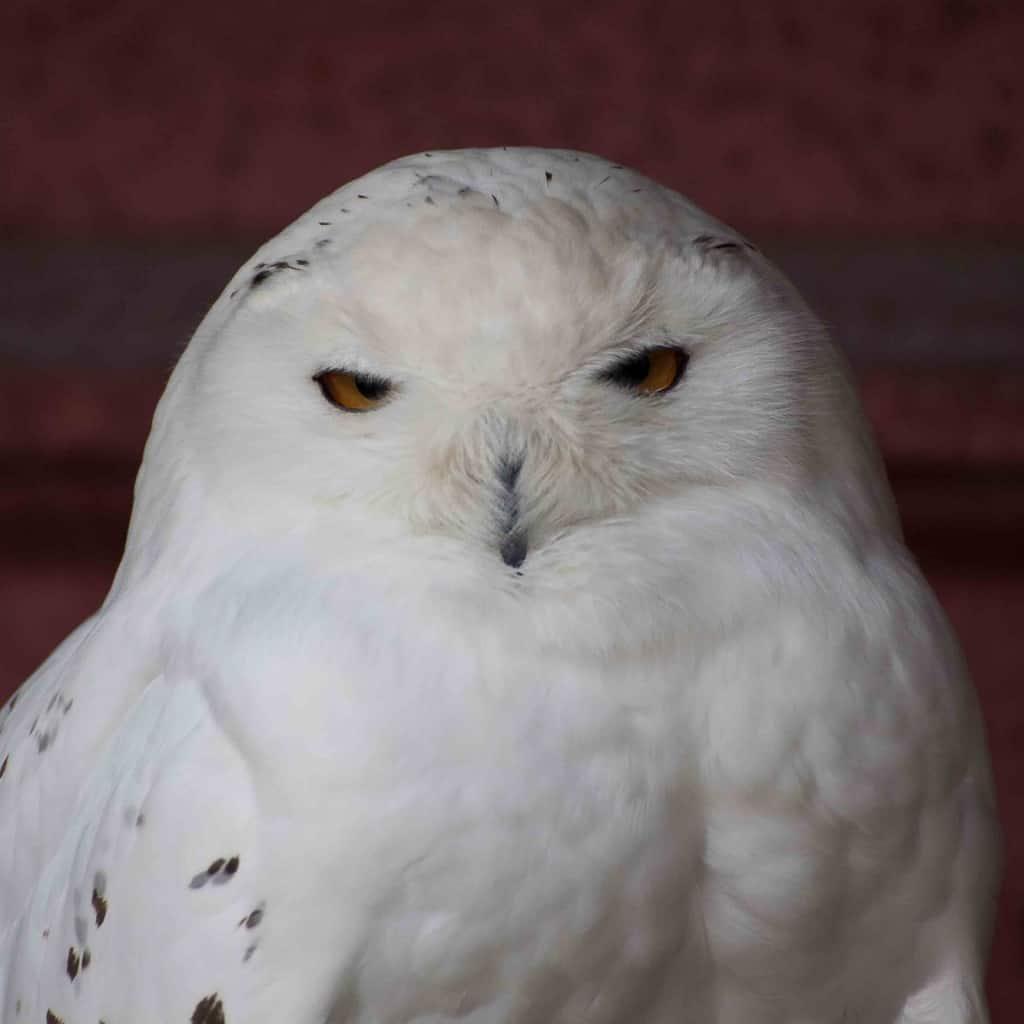 Wyddfa - The Owls Trust