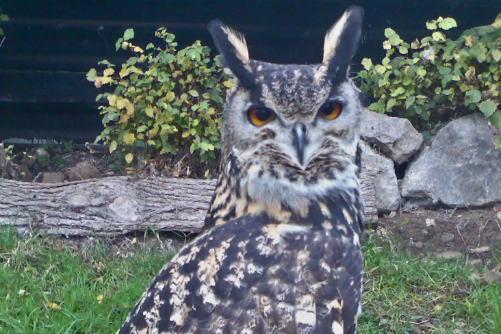 """A picture of our escapee. He's a European Eagle Owl and stands about 28"""" tall."""