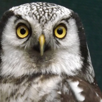 adopt an howell, north wales bird trust, the owls trust, www.theowlstrust.org