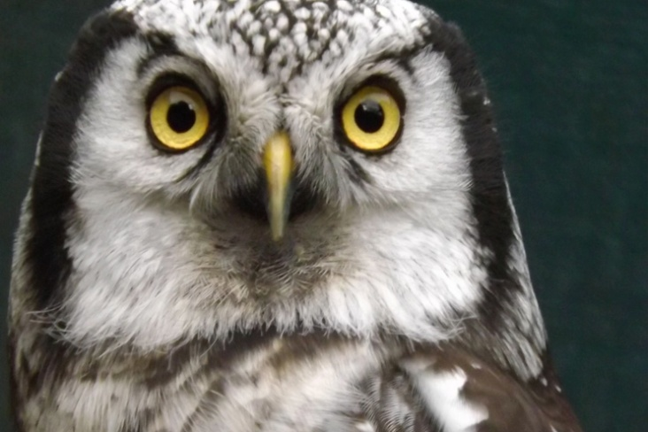 adopt an howell, north wales bird trust, the owls trust, www.theowlstrust.org