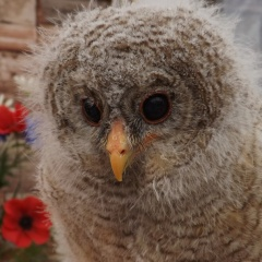 adopt an owl woodii, north wales bird trust, the owls trust, www.theowlstrust.org