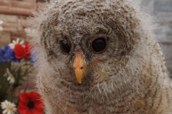 adopt an owl woodii, north wales bird trust, the owls trust, www.theowlstrust.org