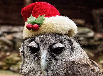 one of our owls in a Christmas hat getting excited for Christmas!