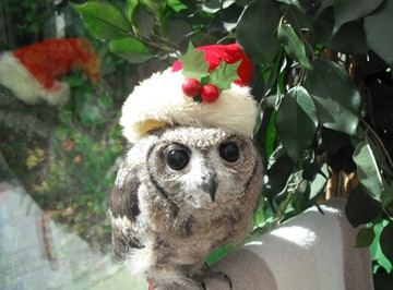 An owl isn't just for Christmas, we need your help all year around. Consider adopting one of our owls with a regular adoption. Photo of a little owl in a santa hat and a Christmas decoration in the background