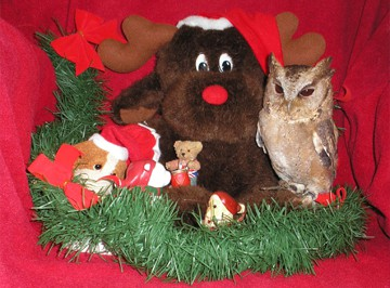 Otis loves Christmas! Every year, people give him lovely gifts! Give the gift of owl adoption to someone you love this year. Photo of Otis the owl sitting on a chair with a red throw over it it, Otis sits on a green garland with his Christmas gifts to the left of him