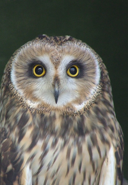 Short Eared Owl Facts - The Owls Trust
