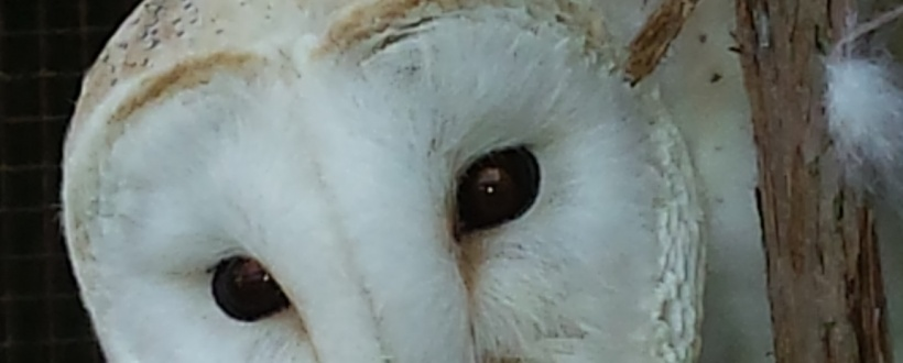 Photo of head of male white breasted barn owl.