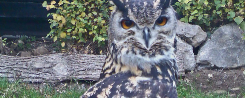 A picture of our escapee. He's a European Eagle Owl and stands about 28