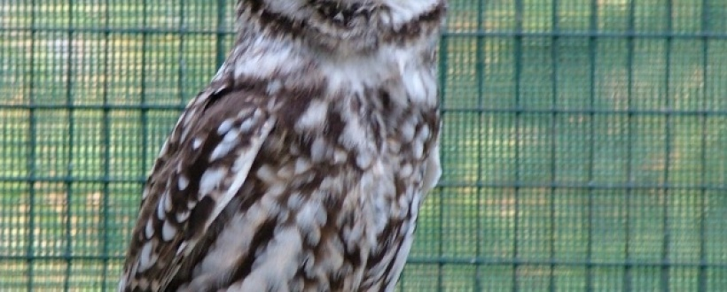 This is one of our Welsh Little Owls, Bobbit.